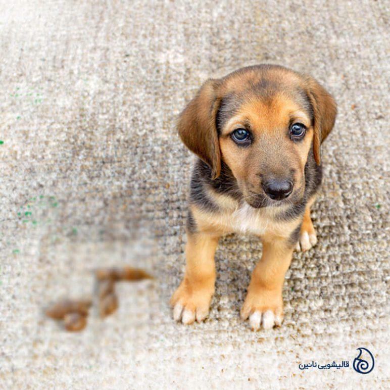 آموزش پاک کردن مدفوع حیوانات خانگی از فرش